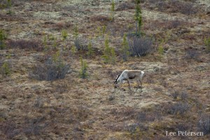 Caribou near the Primrose Ridge region of Denali National Park