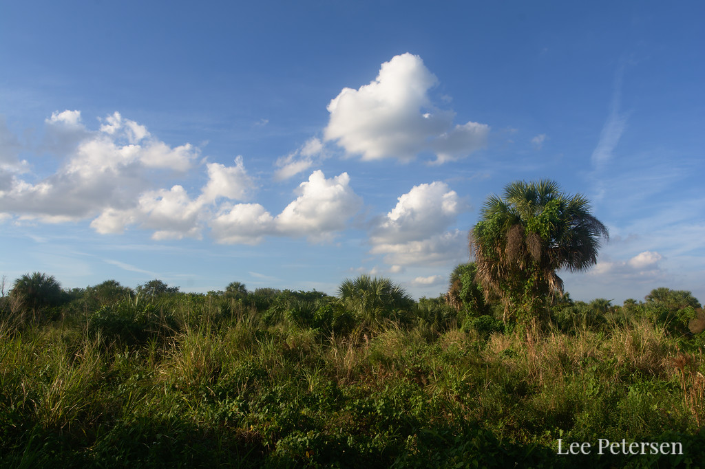 Palm trees and blue skies at Pelican Island National Wildlife Refuge