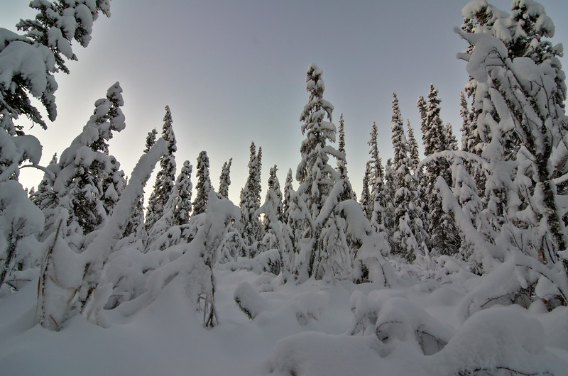 The taiga draped in snow.