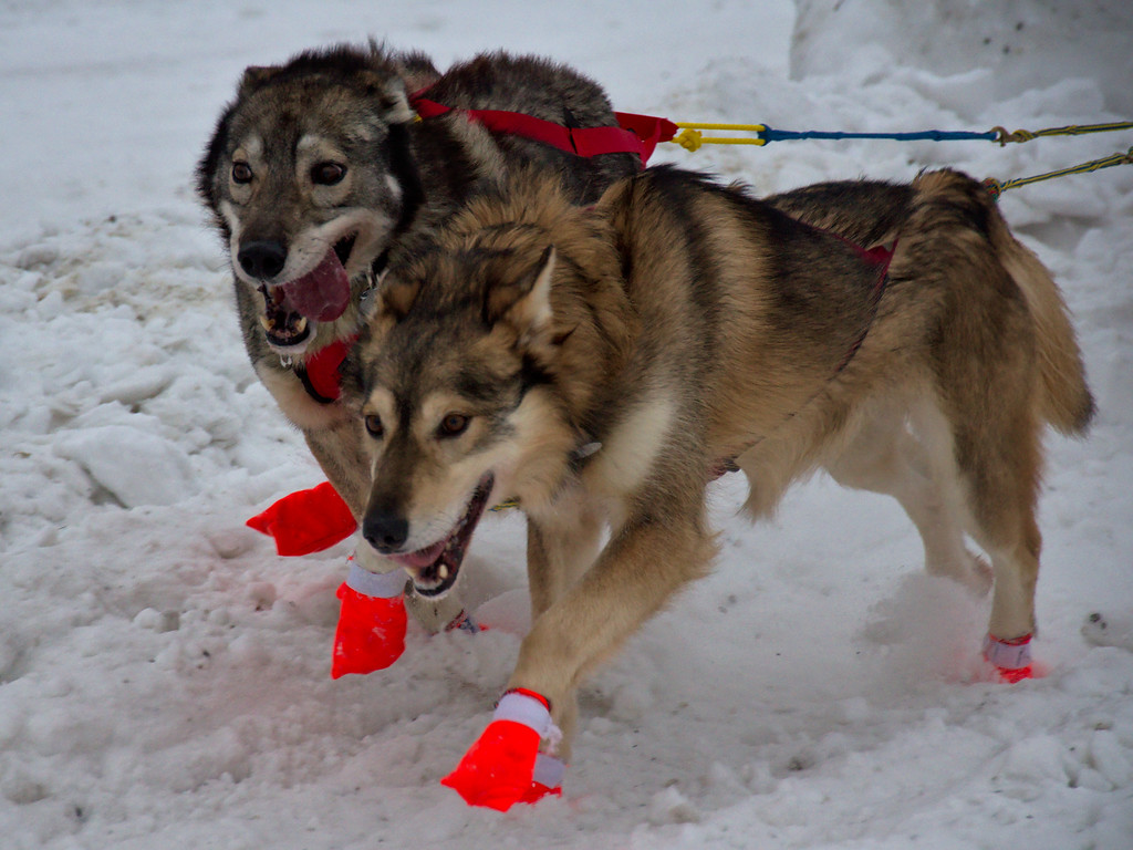 Enthusiastic dogs pulling Brian Wilmhurst in Yukon Quest