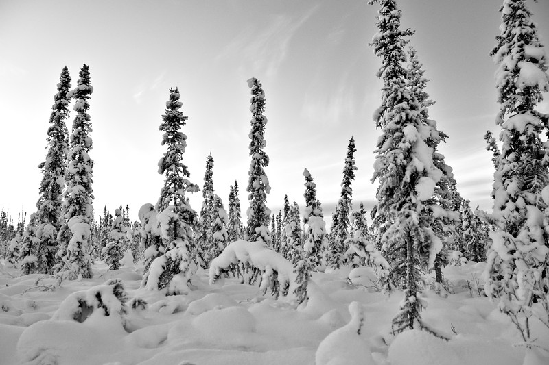 Spruce standing and leaning in Fairbanks, Alaska.