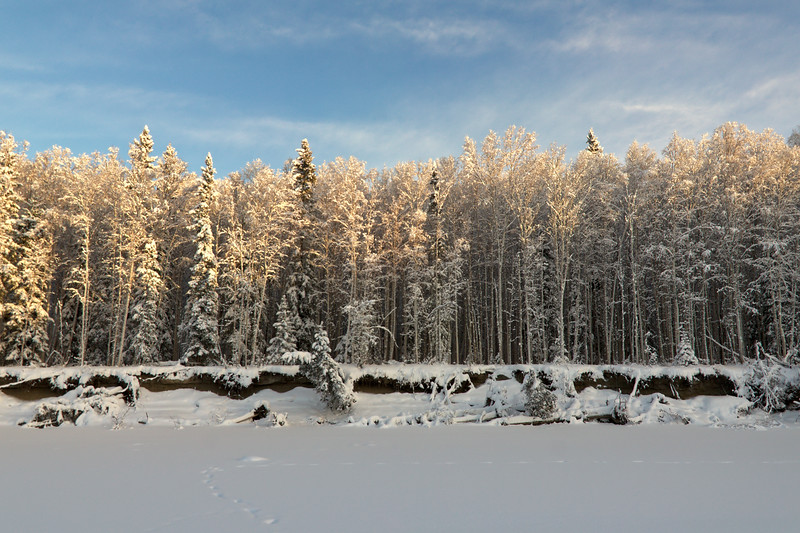 Birch forest over the frozen Chena River.
