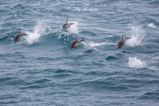 ferry-dolphins-four