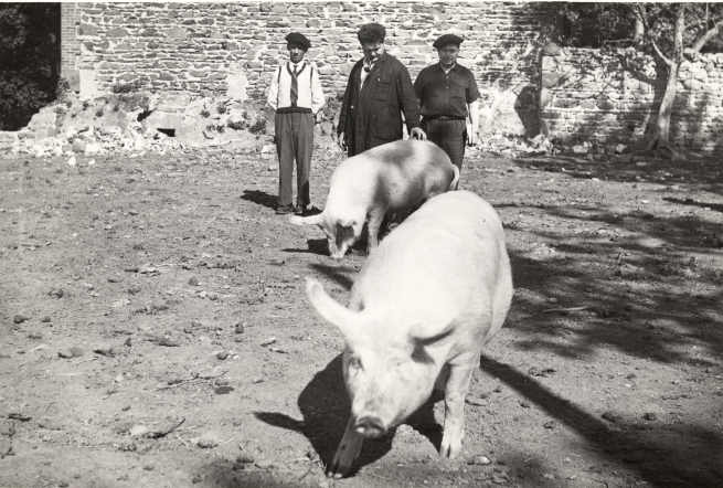 Cochons (années 1950-1960)