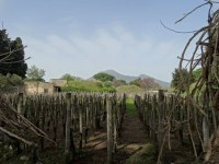 Vignes à Pompéi
