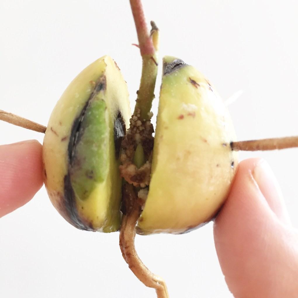 Dyrk dit eget avokadotræ