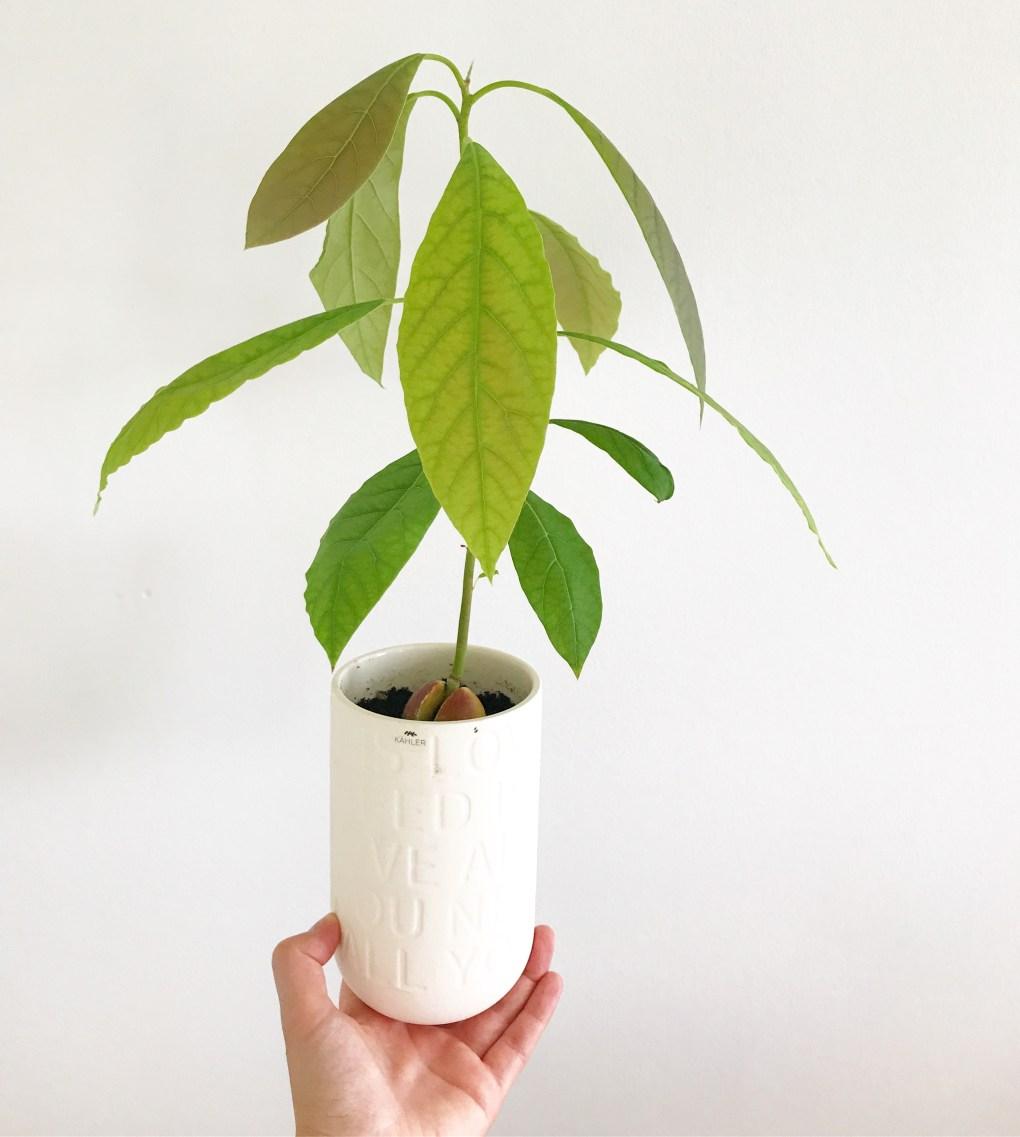 Avokadotræ