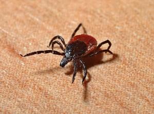 Infectolab - tick