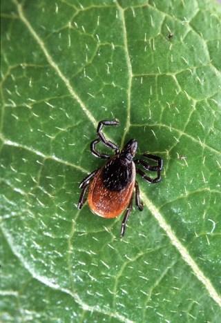 Infectolab - tick on leaf
