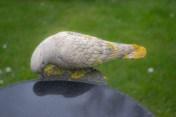 bunge dove