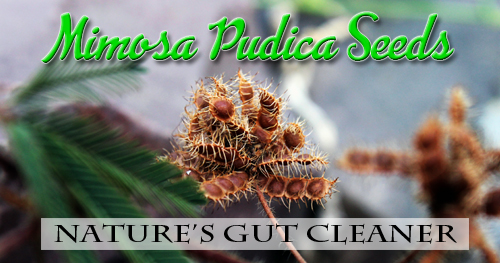 Mimosa Pudica Seeds: Nature's Gut Cleaner – Lyme Recovery Clinic