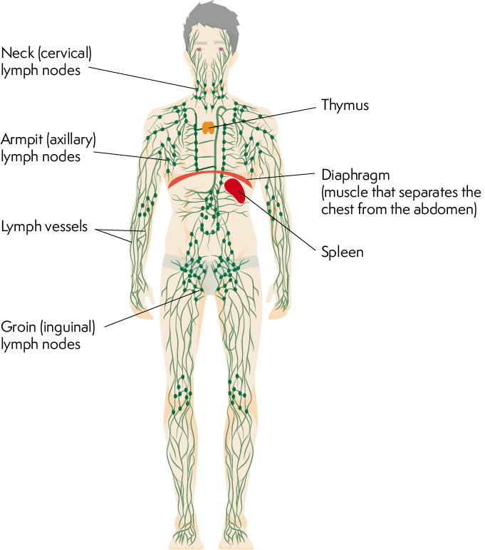 where are my lymph nodes diagram 4 way intersection lymphoma action biopsy showing and vessels throughout the body