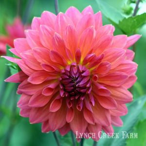 Fire Magic Dahlia