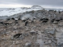 Penguins nesting - Photo Credit: Catie Foley