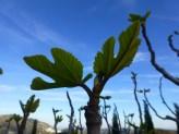 copy Fig leaves 8 Apr 13