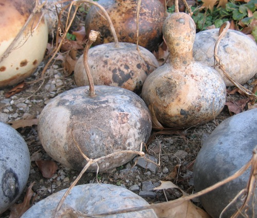 Our selection of gourds drying before moving indoors