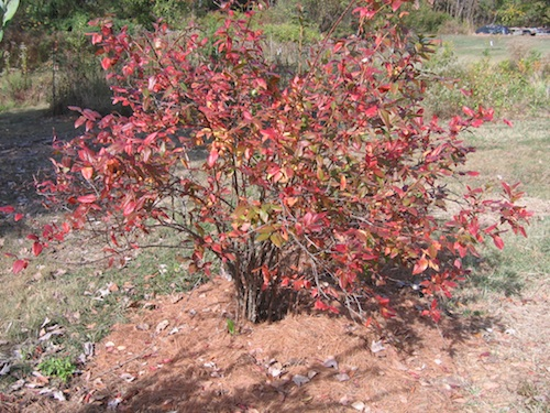 Blueberry Bush In October