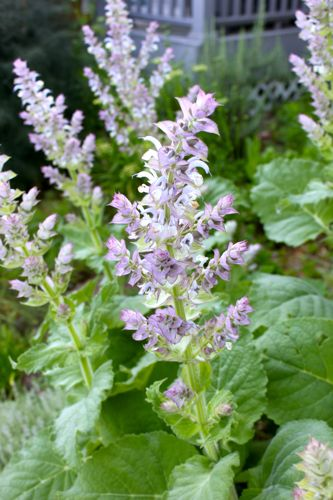 Close up of Clary Sage Bloom