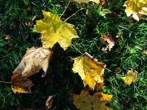 Autumnal Leaves on the wet grass.