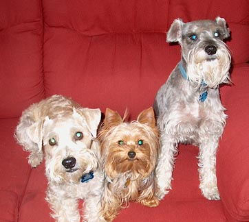 The three amigos, my three dogs