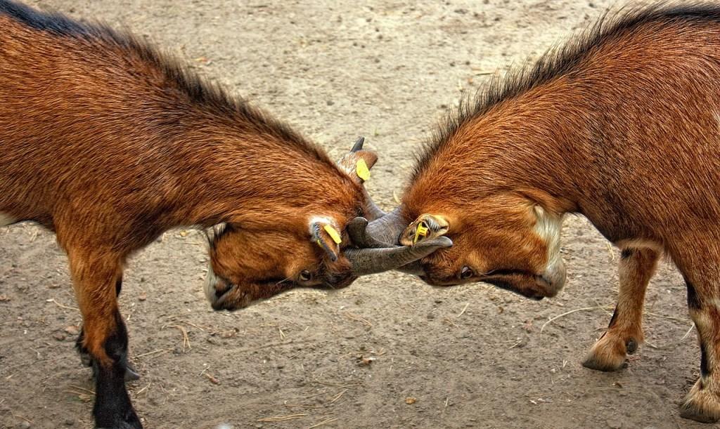 photo of goats locking horns