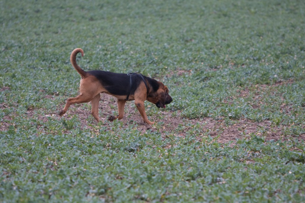 Photo of a bloodhound tracking a scent in the field--this is what I mean when I say my story went to the dogs.