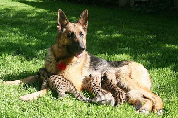 Image of german shepherd nursing cougar cubs