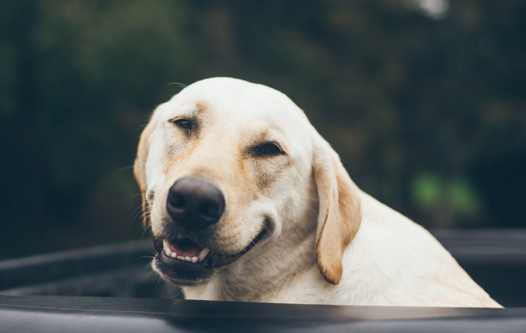 image of a golden retriever smiling to help you find your calm in the middle of the storm