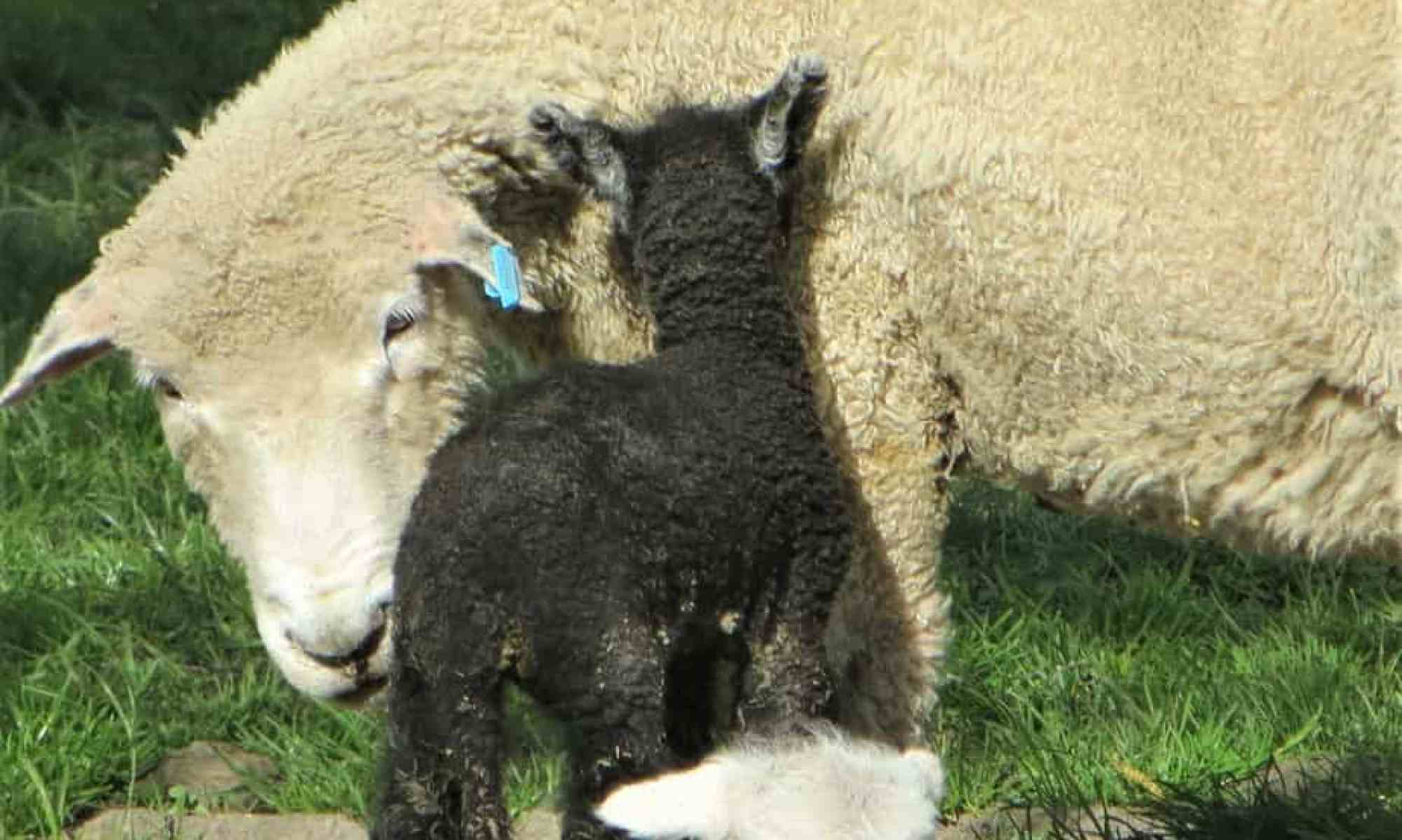 A ewe nuzzles her tiny black lamb at lambing time