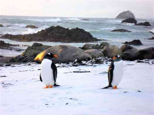 Elephant seals and Gentoo penguins on Macquarie Island.