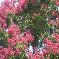 Crepe Myrtles I Didn't Plant