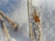 ice crystals on stalk of wheat