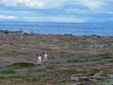penguins in natural habitat Otway Sound