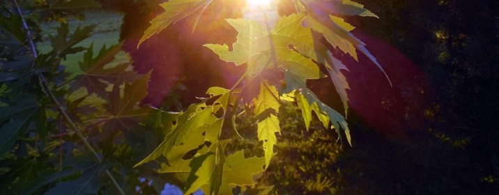maple leaves in evening sunlight