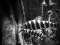 black and white fish at Montreal Biodome