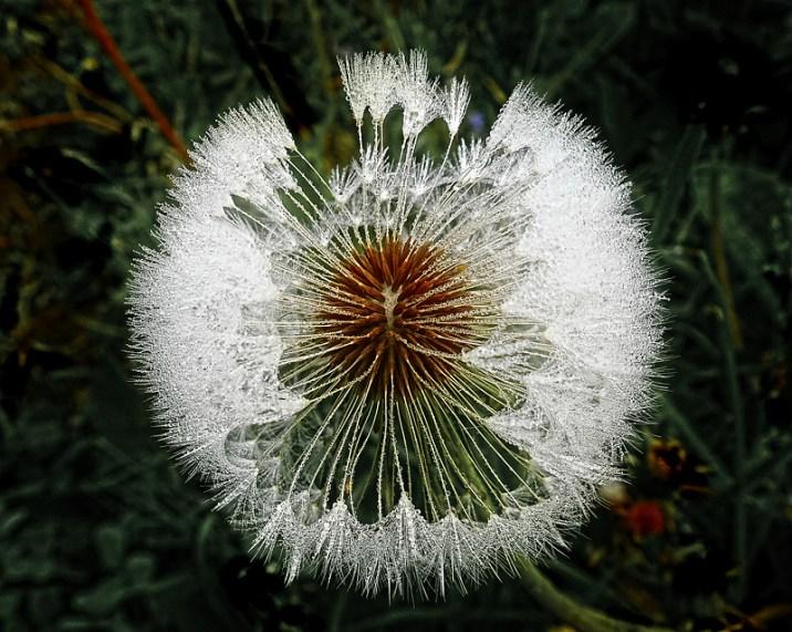 macro dandelion gone to seed
