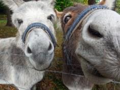 Donkeys, Northern Ireland