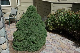 dwarf alberta spruce in courtyard - Summer