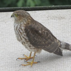 Coopers Hawk on our balcony