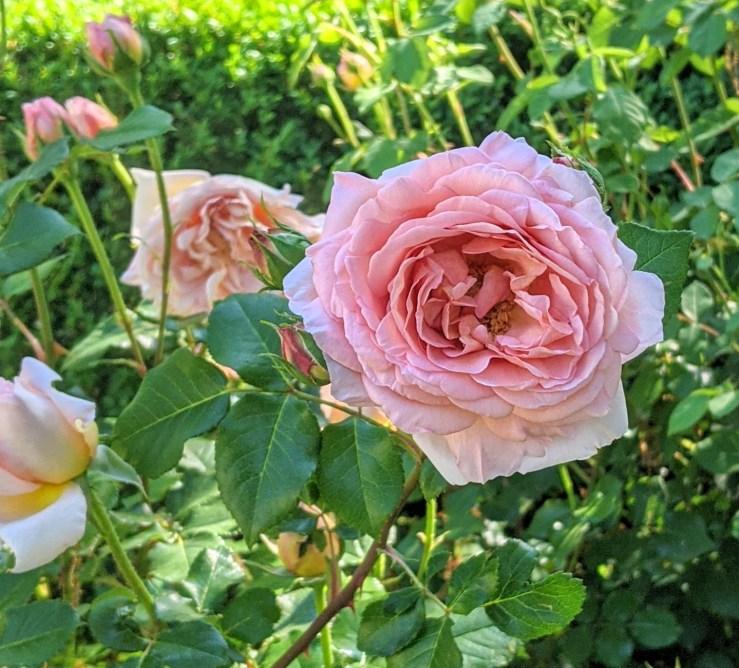 blooms in the rose garden