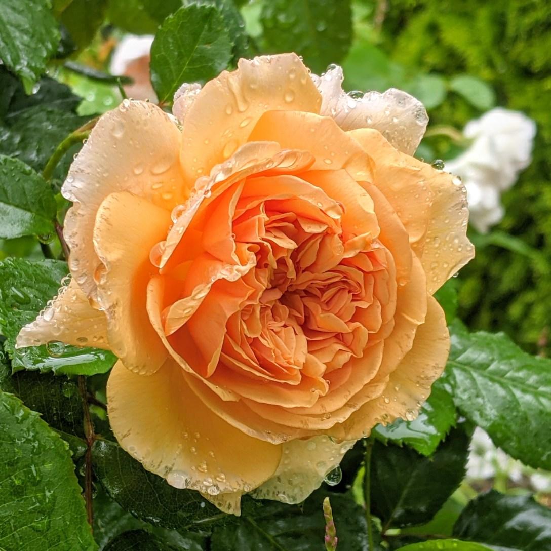 yellow rose blooming in the rain