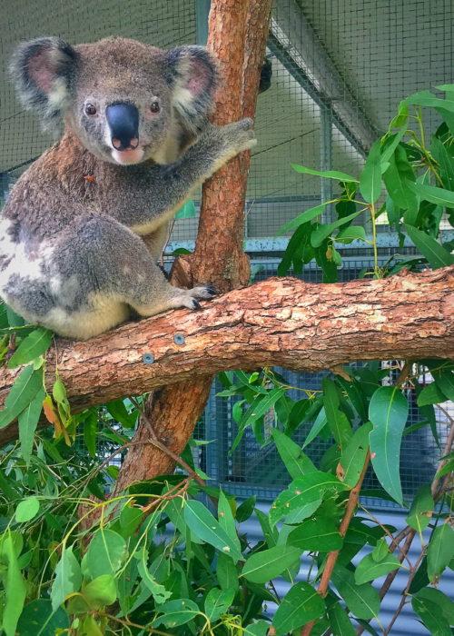 The Australia Zoo Wildlife Hospital Koala Rehabilitation