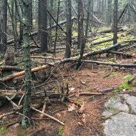 In this piney area, there were a lot of fallen trees. Not sure if they fell during one big storm, or over the course of several years.