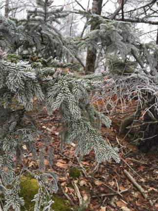 And a different type of frosty evergreen.