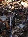 Along the blue trail, I heard a rustling, expecting to see a chipmunk. Nope, it was a little snakey friend instead.