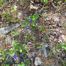Wild violets spotted on the way back down.