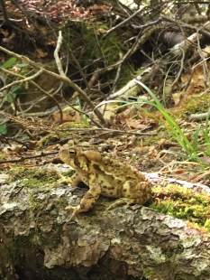 Toad on the trail.