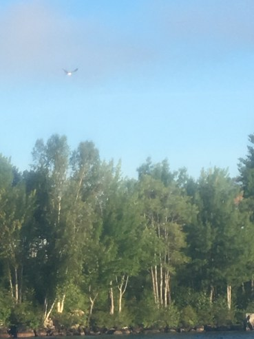 Spotted an osprey. It was sitting in a tree, but flew away before I could get my phone ready to take a picture, so I got several crappy shots of it flying away. This was the best one.