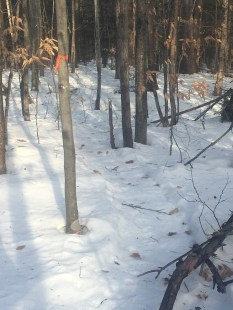 This was the new trail marked with surveyor's tape.