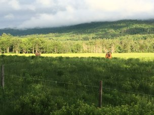 Cows in a field across the street from the trailhead.
